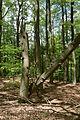 Totholz im Buchenwald Grumsin.JPG