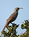Toxostoma redivivum -Point Loma, California, USA-8a.jpg