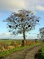 Tree Full of Nests - geograph.org.uk - 287631.jpg