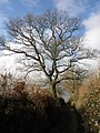 Tree in winter - geograph.org.uk - 1626221.jpg