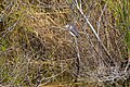 Tri-colored heron (32942245688).jpg