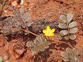 Tribulus astrocarpus flower.jpg