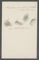 Trichoda erosa - - Print - Iconographia Zoologica - Special Collections University of Amsterdam - UBAINV0274 113 15 0060.tif