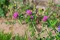 Trifolium pratense in Aveyron (4).jpg