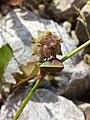 Trifolium resupinatum sl12.jpg