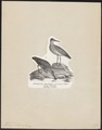Tringa cinclus - 1809-1845 - Print - Iconographia Zoologica - Special Collections University of Amsterdam - UBA01 IZ17400245.tif