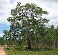 Tristania suaveolens.jpg