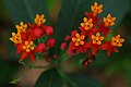Tropical milkweed flowers - ചെമ്മുള്ളി പൂക്കൾ.jpg