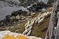 Troupeau de rennes à Kerguelen.jpg