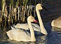 Trumpeter Swan with Cygnet on Seedskadee National Wildlife Refuge (22154522678).jpg