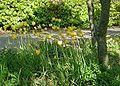 Tulipa-sylvestris-total.JPG