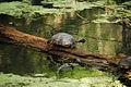 Turtle Ballet - Flickr - Andrea Westmoreland.jpg