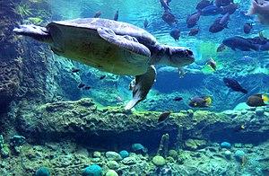 Turtle Trek - A sea turtle swims at Turtle Trek.