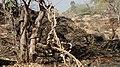Twisted Twines on Hanuman Hill Pune - panoramio.jpg