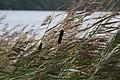 Typhas in Finland.jpg