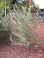 UC Davis arboretum - Grevillea speciosa.jpg