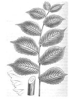 <i>Ulmus glabra</i> Superba