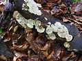 Unidentified mushroom at Nationaal park de Hooge Veluwe3.JPG