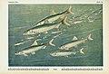 Unsere Süßwasserfische (Tafel 26) (6102601327).jpg