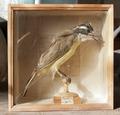 Uppstoppad fågel, Megarynchus petagna - Skoklosters slott - 95027.tif