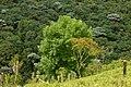 Urapán (Fraxinus uhdei) (14393475554).jpg