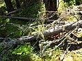 Vällingsjö urskog - lavar.JPG