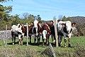 Vaches pré entrée ouest Charnod 2.jpg