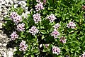 Valeriana supina (Zwerg-Baldrian) IMG 4201.JPG