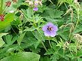 Valley of flowers (Flora) 62.JPG