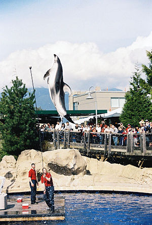 Vancouver Aquarium - Spinnaker does a high-jump during dolphin show.