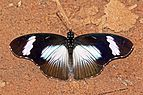 Variable eggfly (Hypolimnas anthedon anthedon) male.jpg