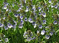 Veronica serpyllifolia subsp humifusa RF.jpg