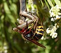 Vespa crabro fighting with praying Mantis over a small bee (32205920834).jpg