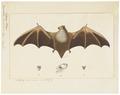 Vespertilio bonariensis - 1700-1880 - Print - Iconographia Zoologica - Special Collections University of Amsterdam - UBA01 IZ20800083.tif
