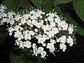 Viburnum dasyanthum 2017-05-31 1535.jpg