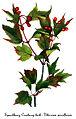 Viburnum edule, by Mary Vaux Walcott.jpg