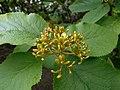 Viburnum veitchii 2016-05-17 0173.jpg