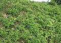 Vicia cassubica 01.jpg
