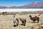 Vicuñas (Vicugna vicugna), Laguna de Salinas, Arequipa, Perú, 2015-08-02, DD 45.JPG
