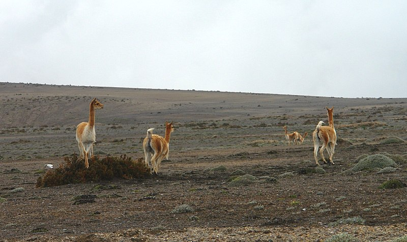 File:Vicuñas al pie del Chimborazo.jpg