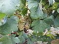 Vigne Louis Pasteur 006.JPG
