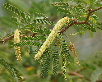 Prosopis juliflora - P. juliflora inflorescences and leaves, Krishna Wildlife Sanctuary (Andhra Pradesh, India)