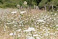 Vildmorot (Daucus carota) -3072 - Flickr - Ragnhild & Neil Crawford.jpg