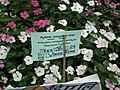 Vinca Rosea from Lalbagh flower show Aug 2013 8013.JPG