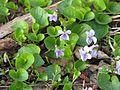 Viola epipsila 5773.jpg
