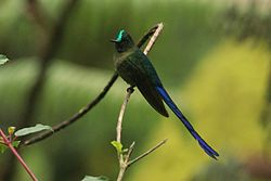 Violet-tailed sylph (Aglaiocercus coelestis).jpg