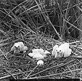 Vogels , bruine kuikendief, Bestanddeelnr 193-0880.jpg