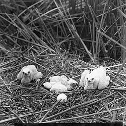 Vogels , bruine kuikendief, Bestanddeelnr 193-0880