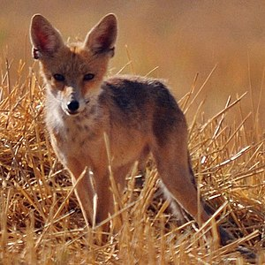 Animal name changes in Turkey - Image: Vulpes vulpes Kurdistanica (cropped)