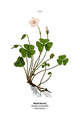 WWB-0033-011-Oxalis acetosella.png